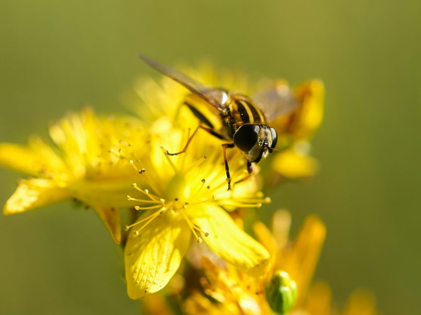FSRH | St John's Wort and contraceptives